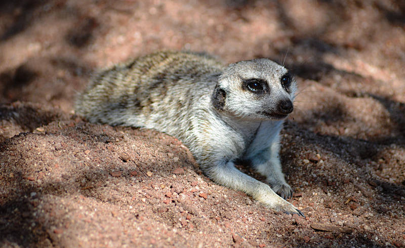 Things to do in Melbourne - Melbourne Zoo Meerkat